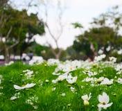 Άσπρος κόσμος, όμορφο λουλούδι στοκ φωτογραφία με δικαίωμα ελεύθερης χρήσης