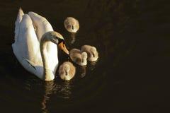 Άσπρος κύκνος με το νεοσσό στο σκοτεινό νερό στα ξημερώματα Στοκ Φωτογραφίες
