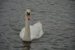 Άσπρος κύκνος που κολυμπά στη λίμνη στοκ φωτογραφίες