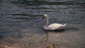 Άσπρος κύκνος που κολυμπά την ηλιόλουστη ημέρα στη λίμνη του Λουγκάνο στην Ελβετία απόθεμα βίντεο