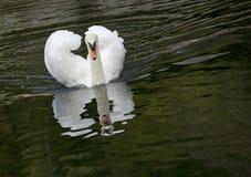 Άσπρος κύκνος σε μια δασική λίμνη Στοκ Φωτογραφία