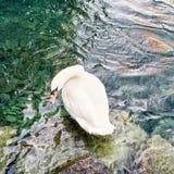 Άσπρος κύκνος στην ακτή της Γενεύης λιμνών Στοκ φωτογραφίες με δικαίωμα ελεύθερης χρήσης