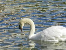 Άσπρος κύκνος στη λίμνη Στοκ Εικόνες