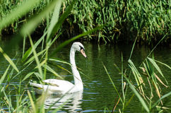 Άσπρος κύκνος στον ποταμό στους καλάμους Στοκ εικόνα με δικαίωμα ελεύθερης χρήσης