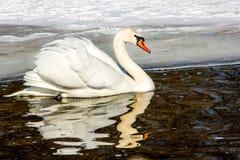 Άσπρος κύκνος στο νερό κοντά στην ακτή που καλύπτεται από snow_ στοκ φωτογραφίες