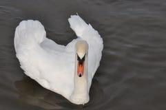Άσπρος κύκνος στο σκοτεινό νερό Στοκ φωτογραφία με δικαίωμα ελεύθερης χρήσης