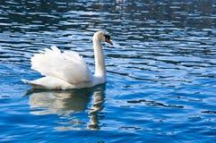 Άσπρος κύκνος Στοκ εικόνες με δικαίωμα ελεύθερης χρήσης