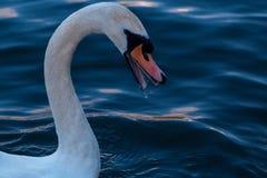 Άσπρος κύκνος Στοκ φωτογραφία με δικαίωμα ελεύθερης χρήσης
