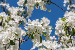 Άσπρος κλάδος δέντρων μηλιάς λουλουδιών Στοκ φωτογραφία με δικαίωμα ελεύθερης χρήσης
