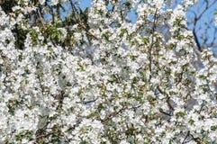 Άσπρος κλάδος δέντρων μηλιάς λουλουδιών Στοκ Εικόνες