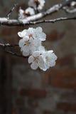 Άσπρος κλάδος λουλουδιών βερίκοκων μια ημέρα άνοιξη closeup Στοκ Φωτογραφία