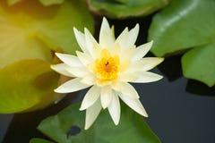 Άσπρος λουλούδι λωτού ή κρίνος νερού Στοκ εικόνες με δικαίωμα ελεύθερης χρήσης