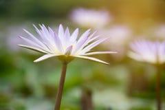Άσπρος λουλούδι λωτού ή κρίνος νερού Στοκ φωτογραφία με δικαίωμα ελεύθερης χρήσης