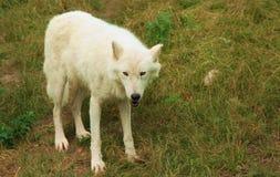 Άσπρος λύκος που εξετάζει τη κάμερα στοκ φωτογραφία με δικαίωμα ελεύθερης χρήσης