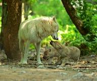 Άσπρος λύκος στο δάσος Στοκ Φωτογραφία