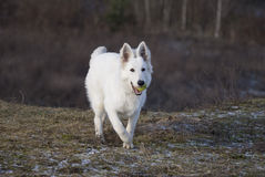 άσπρος λύκος τρεξίματος στοκ φωτογραφία με δικαίωμα ελεύθερης χρήσης