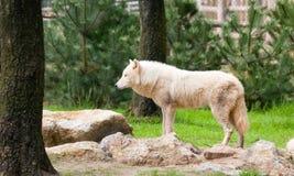 άσπρος λύκος Στοκ Εικόνα