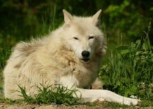 άσπρος λύκος Στοκ εικόνα με δικαίωμα ελεύθερης χρήσης