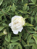 Άσπρος με μορφή δέντρου peony Στοκ φωτογραφία με δικαίωμα ελεύθερης χρήσης