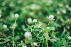 Άσπρος μικροσκοπικός μακρο στενός επάνω λουλουδιών χλόης με τη συστροφή bokeh στο backg Στοκ Φωτογραφίες