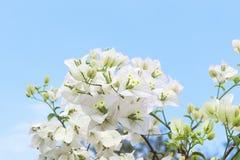 Άσπρος μπλε ουρανός λουλουδιών bougainvillea Στοκ φωτογραφίες με δικαίωμα ελεύθερης χρήσης