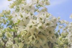 Άσπρος μπλε ουρανός λουλουδιών bougainvillea στοκ φωτογραφία με δικαίωμα ελεύθερης χρήσης