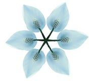 Άσπρος-μπλε λουλούδι Άσπρος-μπλε λουλουδιών που απομονώνεται στο άσπρο υπόβαθρο με το ψαλίδισμα της πορείας Καμία σκιά convolvulu Στοκ φωτογραφία με δικαίωμα ελεύθερης χρήσης