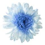 Άσπρος-μπλε χρυσάνθεμο λουλουδιών, λουλούδι κήπων, απομονωμένο λευκό υπόβαθρο με το ψαλίδισμα της πορείας closeup Καμία σκιά μπλε Στοκ Φωτογραφίες
