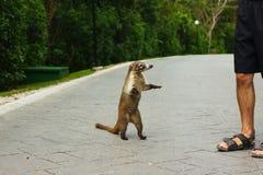 Άσπρος-μυρισμένα ζώο coati και άτομο τουριστών στοκ εικόνες