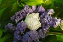 Άσπρος ξηρός αυξήθηκε με τις πτώσεις νερού μεταξύ των φύλλων και των ιωδών λουλουδιών στοκ εικόνες με δικαίωμα ελεύθερης χρήσης