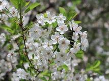 Άσπρος οπωρώνας κερασιών λουλουδιών ανθίζοντας Στοκ εικόνα με δικαίωμα ελεύθερης χρήσης