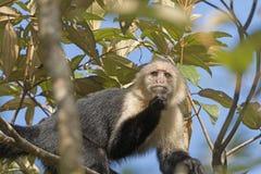 Άσπρος πίθηκος προσώπου σε ένα δέντρο Στοκ Εικόνες