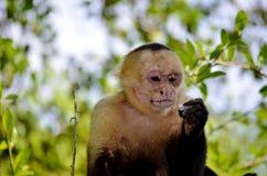 Άσπρος πίθηκος προσώπου Στοκ Φωτογραφία