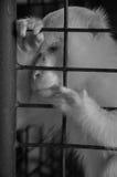 Άσπρος πίθηκος στο κλουβί, που υποβάλλεται σε επεξεργασία σε γραπτό Στοκ Εικόνες