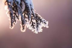 Άσπρος παγετός στο thuja Στοκ Φωτογραφίες