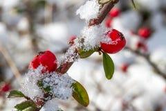 Άσπρος - παγωμένα κόκκινα μούρα ελαιόπρινου στο χιόνι Στοκ εικόνα με δικαίωμα ελεύθερης χρήσης