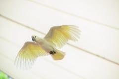 Άσπρος παπαγάλος κατά την πτήση με την πλήρη έκταση φτερών Στοκ Φωτογραφία