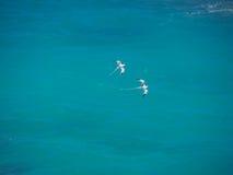 Άσπρος-παρακολουθημένα tropicbirds (lepturus Phaethon), πουλιά κατά την πτήση Στοκ εικόνες με δικαίωμα ελεύθερης χρήσης