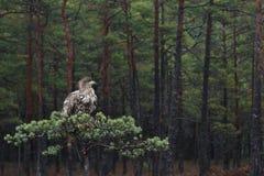 Άσπρος-παρακολουθημένη συνεδρίαση αετών σε ένα δέντρο πεύκων Στοκ Εικόνες