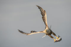 Άσπρος-παρακολουθημένος αετός με τη σύλληψη Στοκ εικόνες με δικαίωμα ελεύθερης χρήσης
