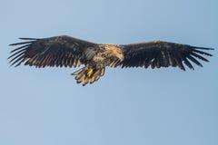 Άσπρος-παρακολουθημένος αετός στοκ εικόνες