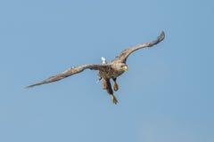 Άσπρος-παρακολουθημένος αετός στοκ φωτογραφία