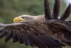 Άσπρος παρακολουθημένος αετός Στοκ Εικόνα