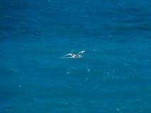 Άσπρος-παρακολουθημένος tropicbird (lepturus Phaethon), πουλί κατά την πτήση Στοκ Φωτογραφίες