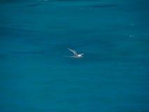 Άσπρος-παρακολουθημένος tropicbird (lepturus Phaethon), πουλί κατά την πτήση Στοκ Φωτογραφία