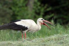 Άσπρος πελαργός που τρώει slowworm Στοκ εικόνα με δικαίωμα ελεύθερης χρήσης