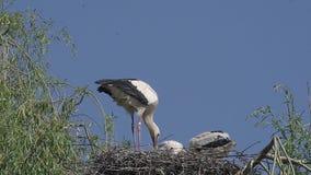 Άσπρος πελαργός, ciconia ciconia, ζευγάρι που στέκεται στη φωλιά, Αλσατία στη Γαλλία απόθεμα βίντεο