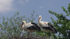 Άσπρος πελαργός, ciconia ciconia, ζευγάρι που στέκεται στη φωλιά, Αλσατία στη Γαλλία, απόθεμα βίντεο
