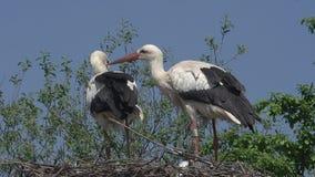 Άσπρος πελαργός, ciconia ciconia, ζευγάρι που στέκεται στη φωλιά, Αλσατία στη Γαλλία, φιλμ μικρού μήκους