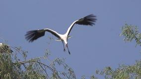 Άσπρος πελαργός, ciconia ciconia, ζευγάρι που στέκεται στη φωλιά, μια κατά την πτήση, Αλσατία στη Γαλλία, φιλμ μικρού μήκους